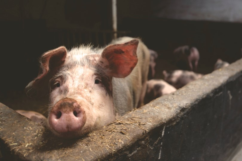 African Swine Fever Avian Influenza Economic consequences on global protein market