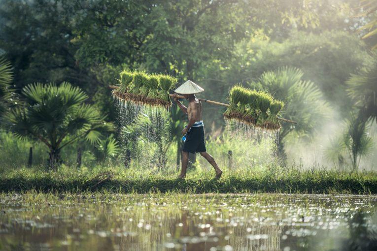 Responsabilisation des petits exploitants agricoles : comment les pays asiatiques renforcent leur agriculture par Alcimed